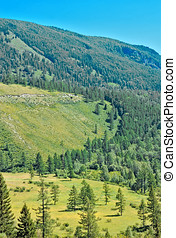 Summer Altay mountain with a green fir-tree