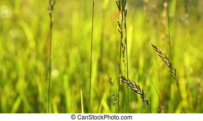 grass closeup, lit by the setting sun