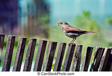 thrush with earthworm  on the fence at the sunny summer day