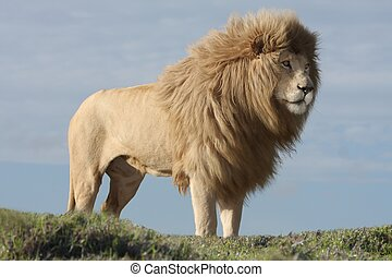 White Lion Male - Magnificent male white lion with huge mane