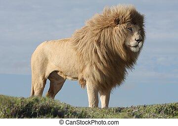 blanco, león, macho