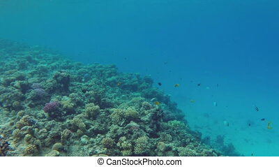 Underwater landscape with fish swim among corals in the Red Sea - Egypt