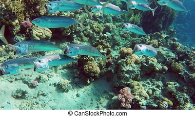 school of Indian mackerel Rastrelliger kanagurta feeding in...