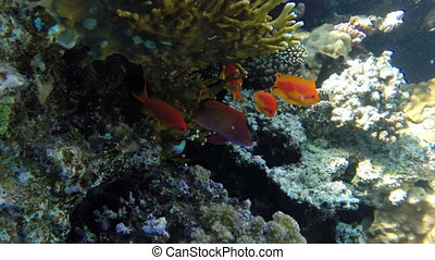 Jewel Fairy Basslets (Pseudanthias Squamipinnis) at coral in...