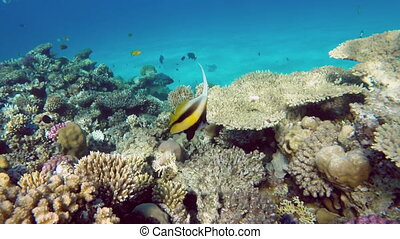Pennant coralfish Heniochus acuminatus or bannerfish in the...