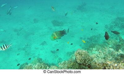 Broomtail Wrasse fish swim on coral reef in the Red Sea