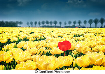 Flower bed of yellow tulips at spring field