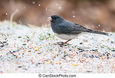 Dark Eyed Junco - Dark-eyed Junco (Junco hyemalis) eating on...