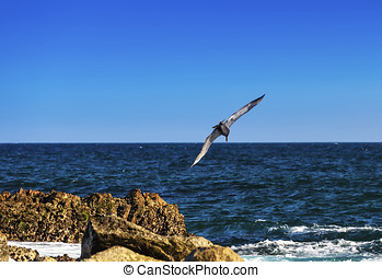 Brown Pelican - Brown pelican prepares to make a deep dive...