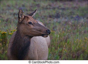 Female Elk in Repose - A female elk stares into the distance...
