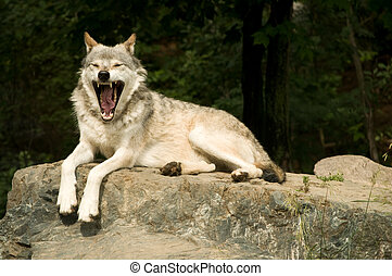 yawning wolf - great plains wolf yawning while resting on...