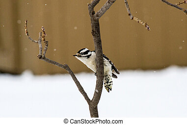 Downy Woodpecker On Full Alert - A Downy Woodpecker on full...