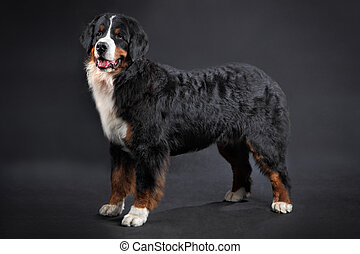 Big shaggy black domestic animal, Bernese Mountain Dog...