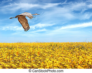 Sandhill Crane in flight above yellow field