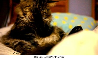 Maine coon cat sitting on his back and cleaning itself....