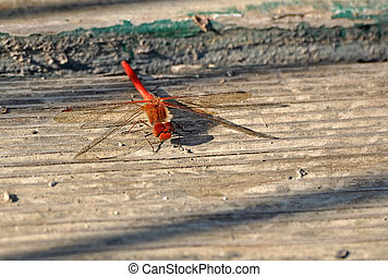Macro Shot of a Red Dragonfly