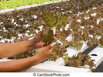 Hydroponic vegetable on hand in garden.