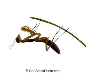 mantis isolated - praying mantis isolated on a white...