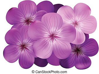 phlox flowers isolated on a white background