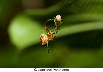 Female Cobweb Spider and Pray - Female Cobweb Spider...