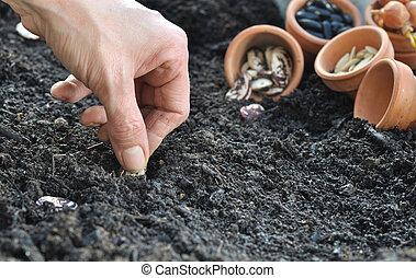feijões, semear