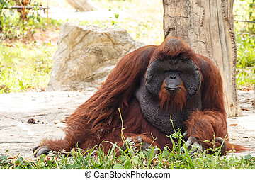 Bornean orangutan(Pongo pygmaeus) in Thailand ( Found it at...
