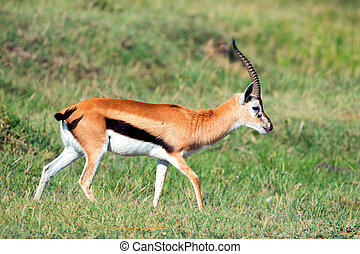 Thompsons gazelle - Wild Thompsons gazelle walking in...
