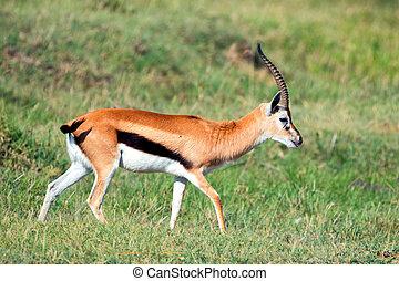 Thompson's gazelle - Wild Thompson's gazelle walking in...