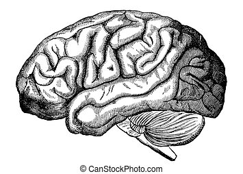 Human Brain - An engraved illustration of the human brain,...