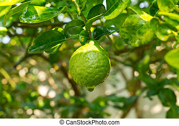 Bergamot - bergamot fruit on the tree with water drop