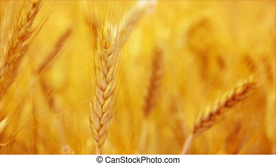 Golden Yellow Wheat Ears in Agricultural cultivated field,...