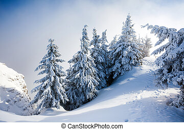 Pine trees covered in snow on winter season in Poiana...