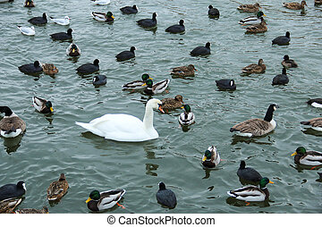 Lonely white swan among other birds in a lake