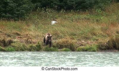 Brown Bear In Rainy Day - Animals In The Wild - Alaska -...