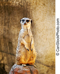 Meerkat standing watch - A lone meerkat is standing watch on...