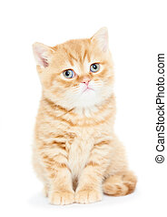 British Shorthair kitten cat