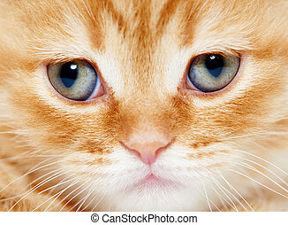 close up snout of British shorthair kitten cat - closeup...