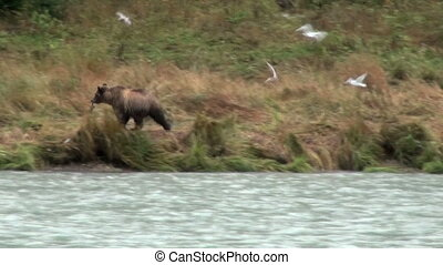 Brown Bear Having Fun In Rainy Day - Animals In The Wild -...