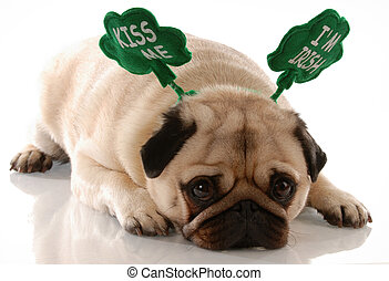 st. patricks day - pug wearing kiss me im irish headband...