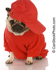 adorable pug wearing red shirt and sports cap