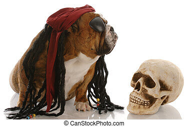 english bulldog dressed as a pirate for halloween