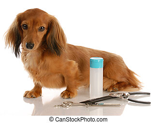 dog grooming - miniature long haired dachshund sitting...