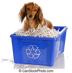 long haired miniature dachshund sitting in blue recycle bin