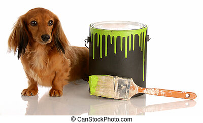 adorable long haired dachshund sitting beside paint can