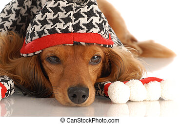 miniature long haired dachshund wearing plaid hat and scarf