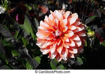 dahlia - single dahlia flower...