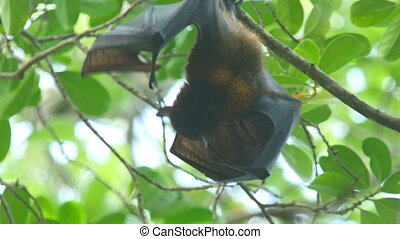 Flying fox - Lyle's flying fox (Pteropus lylei) eating fruit