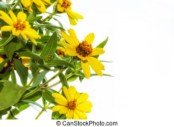 Zinnia - Cluster of yellow Zinnia flowers on a white...