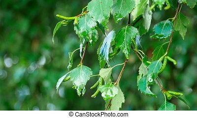 Summer rain - Birch branch in the summer rain