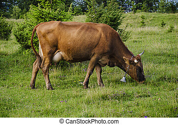 Dairy cow grazing at meadow - Dairy cow grazing at green...